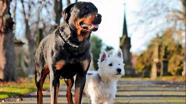 Introducing-Your-Rottweiler-Puppy-to-Other-Dogs-1024x576