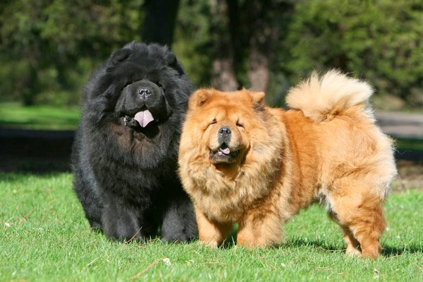 chow-chow-temperament