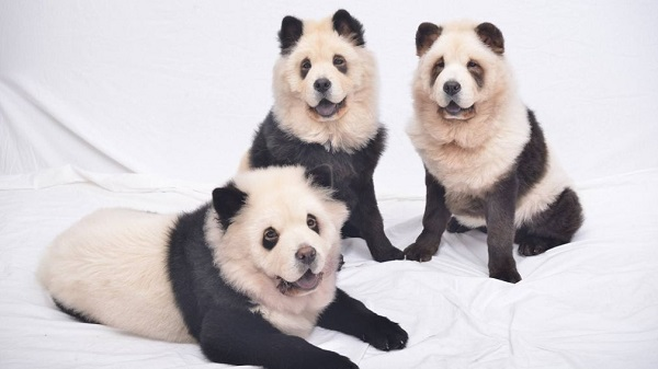 panda-chow-chows