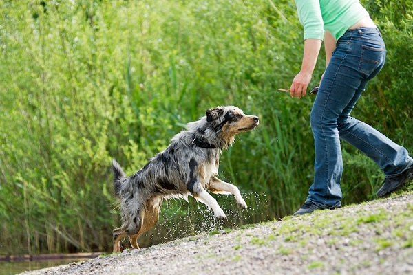 Australian Shepherd playing