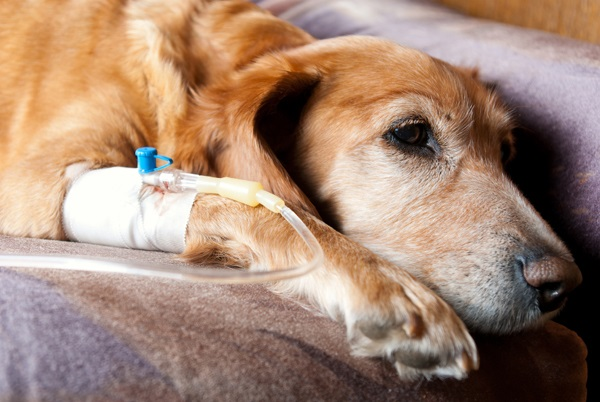10 Indications Your Dog Can Be Suffering from Cancer