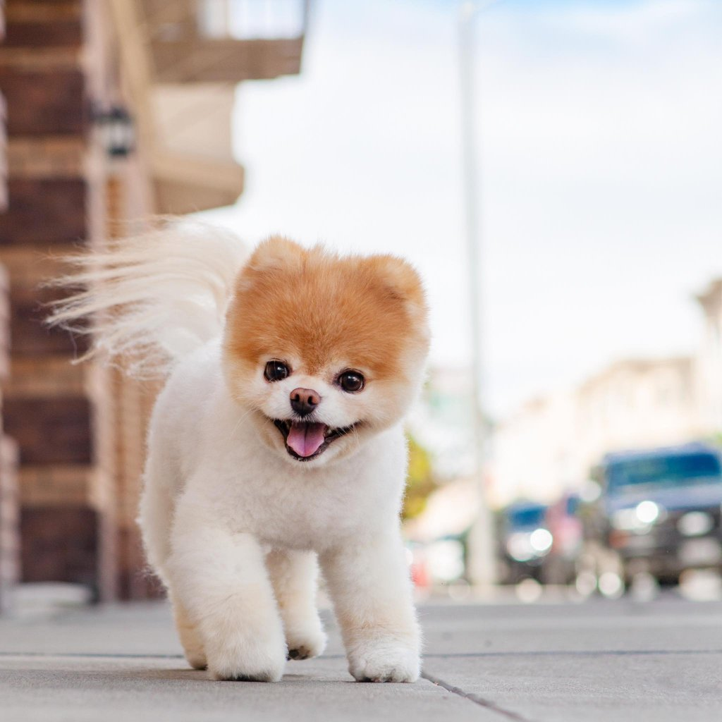 Meet Boo The Cutest And Most Famous Dog In The World ...